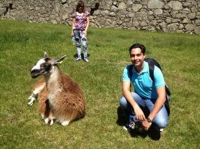 Llamas Cusco